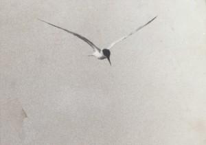 Een Visdiefje in vlucht