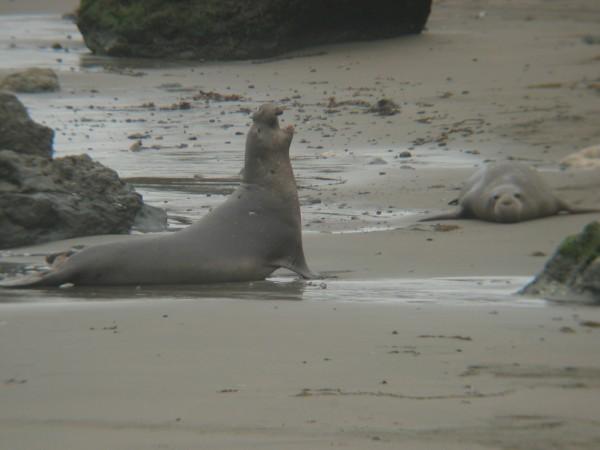 Een zeeleeuw richt zich op