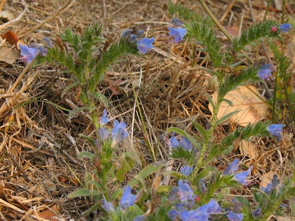 Blauwe bloemetjes