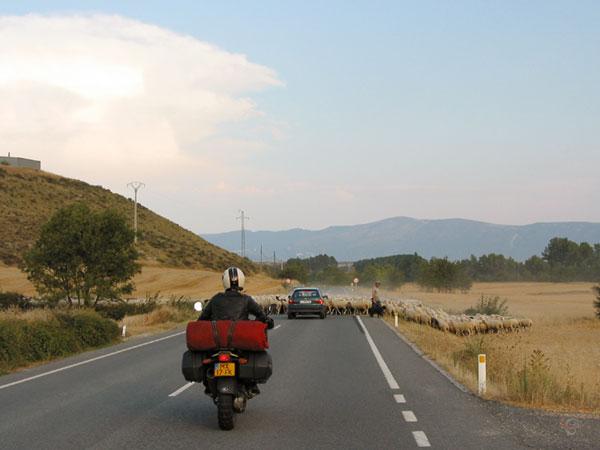 Overstekende kudde schapen