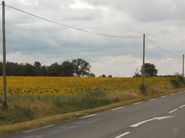 Zonnebloemen in bloei