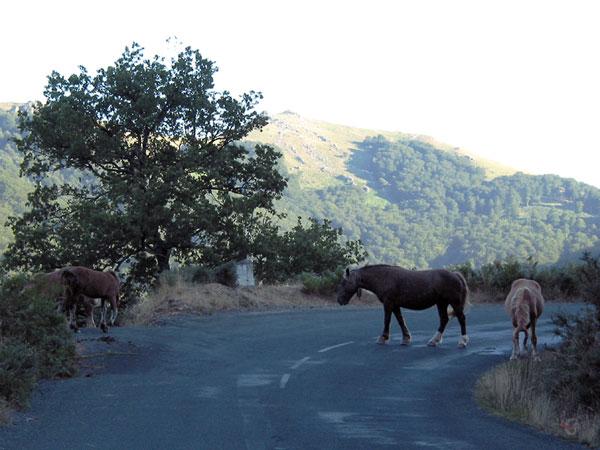 Paarden op de weg