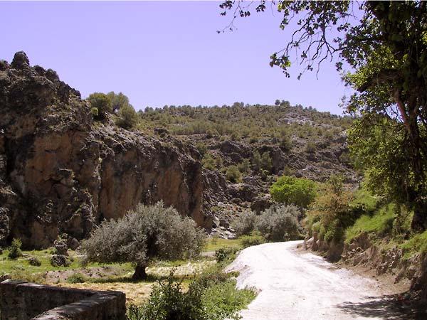 Loodrechte rode rotswand, hele oude olijfboom