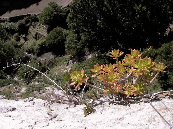 Vetplanten op de rand van de muur aan de rand van de kloof
