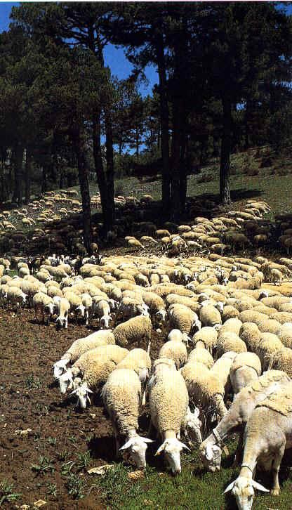 Kudde schapen tussen de bomen