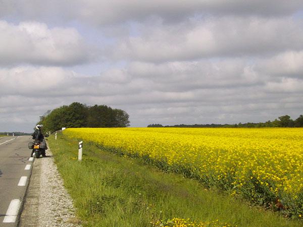 Geel mosterdveld met Sylvia op motor er naast kijkend