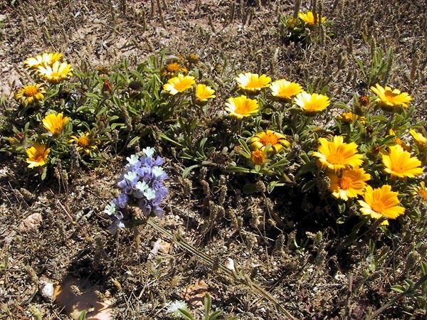 Goudgele en hemelsblauwe bloemen