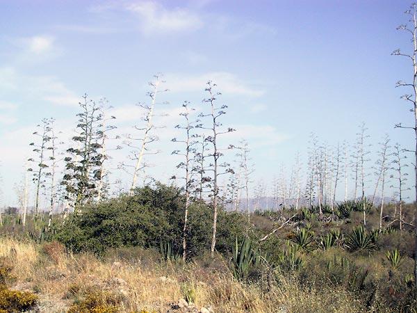 Grote hoeveelheid bloeistengels van de Agave