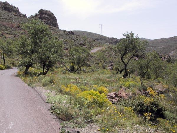 Steeneiken, gele bloemen en een smal weggeje daartussen