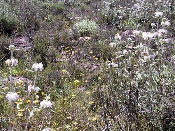 Wollige witte bloemen, viltige grijsgroene bladeren