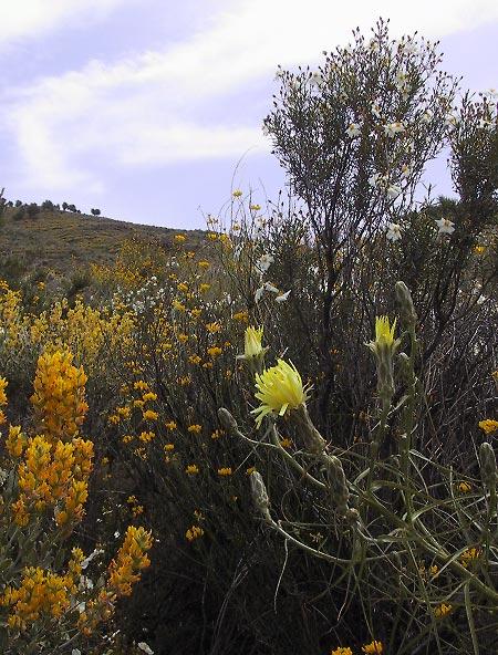 Brem en distels in geel, witte bloemen aan een struik