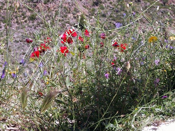 Rood, blauw, geel, wit, grijsgroene bladeren, groeiiend op het puin