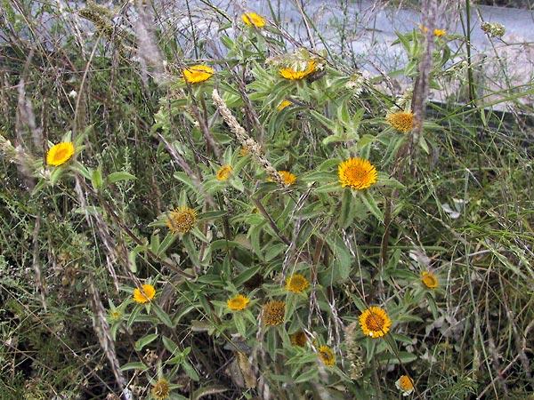 Distelachtige plant met bloemknoppen, bloemen en uitgebloeide bloemhoofdjes