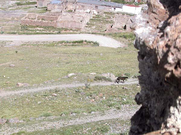 Hazewindhond loopt langs de flank van de heuvel