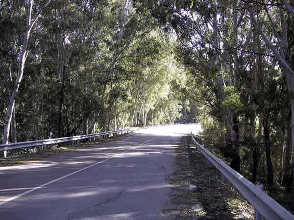Weg in de schaduw van Eucalyptusbomen