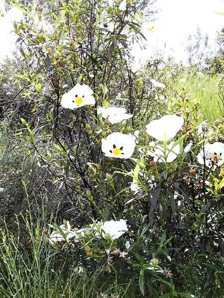 Witte bloemen met paars en geel in het hartje